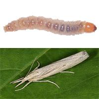 what is a sod webworm Sod Webworm Treatment Green Bee Lawn Care