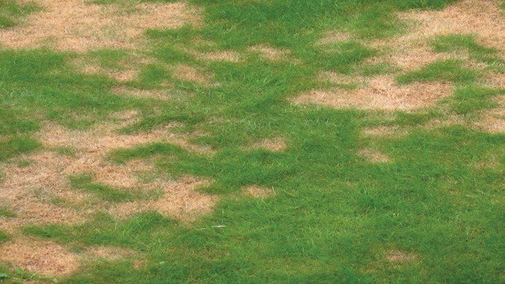 Lawn Disease - Fungus