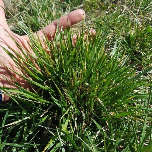 fescue grass clump