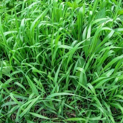 how to identify crabgrass quackgrass